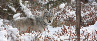 WI Assembly to vote on pushing wolf hunt date