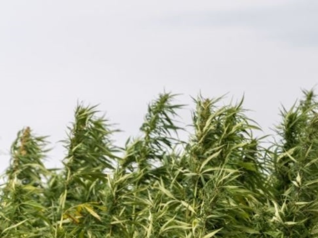 the legalization of hemp has significant The legalization of hemp has significant medicinal and industrial value from high schools to college campuses, marijuana can be seen just about everywhere.